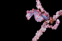 Pygmy seahorse, Hippocampus bargibanti, pregnant male, Farondi Island, Raja Ampat, West Papua, Indonesia, Indo-Pacific Ocean