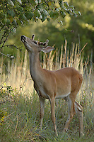 Young whitetail buck looking at some wild mustang grapes, just out of reach.