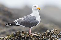 Western Gull (Larus occidentalis). Oregon. June.
