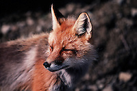 Portrait of a Red fox (Vulpes vulpes) as it pauses to scent the wind and surroundings. Alaska.
