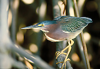 Green-backed Heron on mangrove branch. St. Thomas, US Virgin Islands Caribbean.
