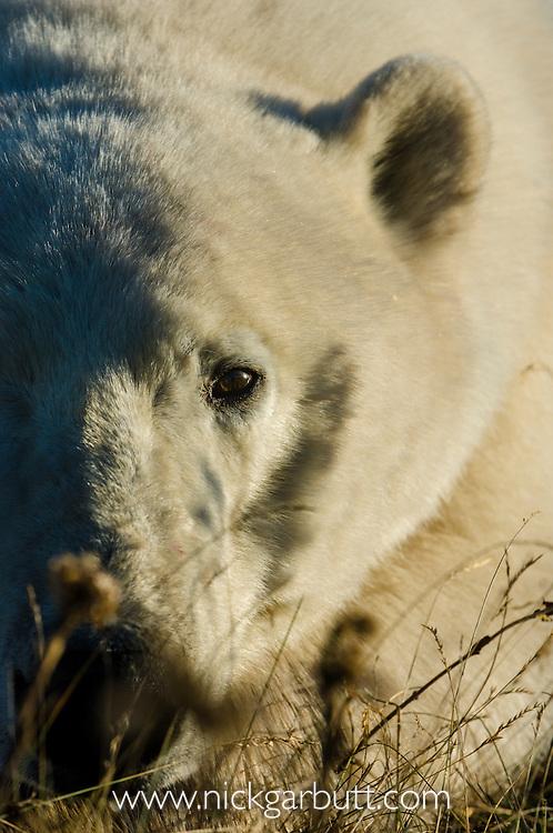 Polar Bear (Ursus maritimus) resting / sleeping in tundra vegetation, late evening light. Shores of Hudson Bay, Canada in late September.