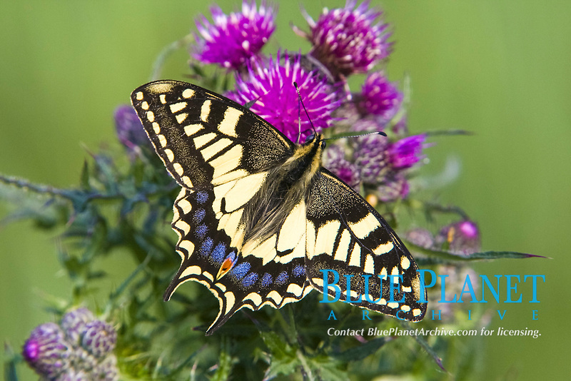 Common Swallowtail (Papilio machaon britannicus), endemic subspecies, adult, feeding on thistle, The Broads National Park, Norfolk, England, United Kingdom, Europe