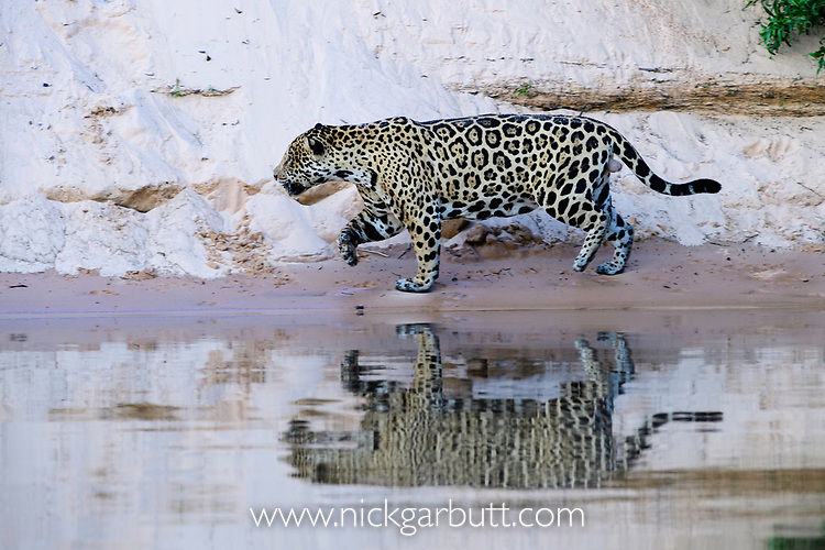 Male jaguar (Panthera onca) stalking along a sand bank with reflection in the water. Cuiaba River, Northern Pantanal, Mato Grosso, Brazil.