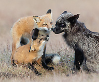The four red kits were looked after by two females: a red vixen and another silver female. Foxes will sometimes share dens or help raise other kits if dens are close to each other.