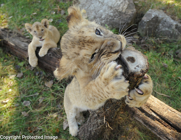 Baby lion cub Mandisa, left, watches her broher Masamba chew on a limb as the two play at the NEW Zoo on Oct. 9, 2008. The two were born on July 19, 2008..