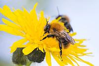 Ackerhummel, Acker-Hummel, Hummel, Blütenbesuch, Bombus pascuorum, Bombus agrorum, Megabombus pascuorum floralis, common carder bee, carder bee, le bourdon des champs