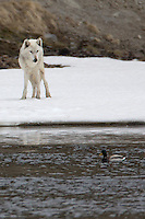 The alpha female of the Canyon pack in Yellowstone weighs the risk vs. benefit of a duck dinner. If she missed, it would be a cold climb out of the river.  The duck seems to know she will ultimately decide to move on, which she did.