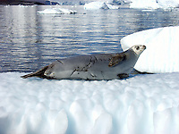 Crabeater seal (lobodon carcinophagus) on an iceberg in Paradise Harbor, Antarctica
