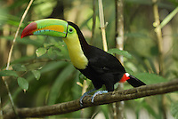 Keel-billed Toucan (Ramphastos sulfuratus), adult, Belize