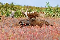 moose, Alces alces, bull and calf in Denali National Park, interior, Alaska, USA, USA