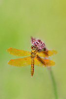 304570025v a wild male mexican amberwing perithemis intensa perches on a flower stem along the edge of roper lake in roper lake state park cochise county arizona