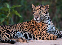 Once again, we had good luck with the jaguars of the Pantanal, with 27 sightings in nine outings. This lovely female was hanging out on the riverbank after sunset.