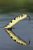 Checkered Garter Snake, Thamnophis marcianus marcianus, adult swimming, Willacy County, Rio Grande Valley, Texas, USA