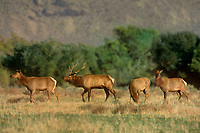 628850051 three wild female or cow and a male or bull with full antler rack tule elk cervus nannodes forage in a field in the eastern sierras in inyo county california