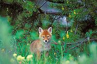 Wild coyote pup stands under lodgepole pine tree.  Western U.S., June.