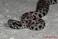 0710-0802  Dusky Pygmy Rattlesnake, Sistrurus miliarius barbouri © David Kuhn/Dwight Kuhn Photography