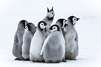 Snow Hill Island, Antarctica. Nestling emperor penguin chicks having a penguin party and singing.