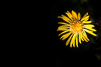 Toned yellow flower, Gum Plant, on right, including insect, with room for text, copy space, on left half of image over dark shadow tones.