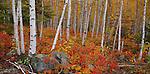 Split Rock Lighthouse State Park, MN: white birch (Betula papyrifera) forest in fall color