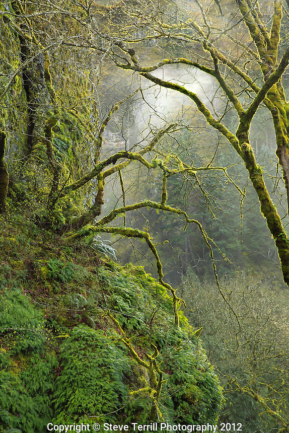 Moss covered big leaf maples in Columbia River Gorge National Scenic Area, Oregon