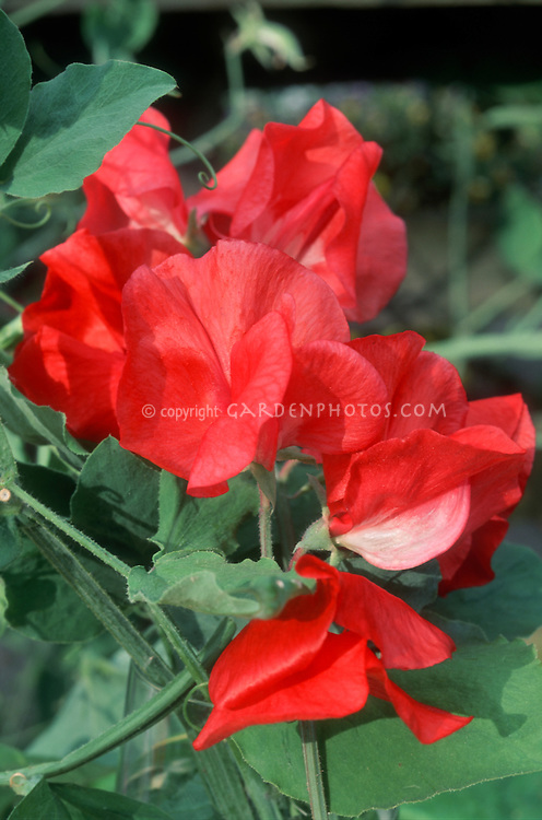 Lathyrus odoratus Dave Thomas red sweetpeas flowers macro, annual flowering vine