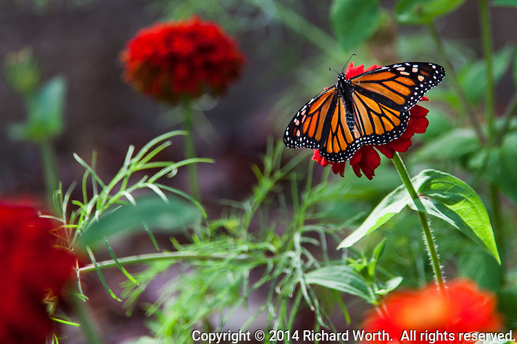 And orange and black Monarch butterfly rests on a red flower in the Nectar Garden at Coyote HIlls Regional Park in Fremont, California.