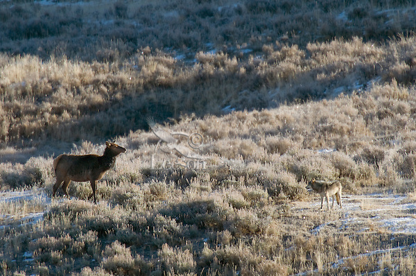 Wild GRAY WOLF (Canis lupus) hunting cow elk.  Greater Yellowstone Ecological Area.  Fall.
