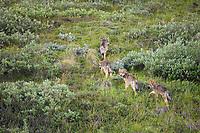 Gray wolf cubs travel the tundra of Denali National park, Interior, Alaska.