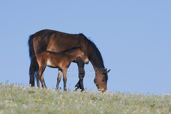 Mustang Horse (Equus caballus), mare and colt, Pryor Mountain Wild Horse Range, Montana, USA