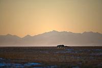 Polar bear, Barter Island, Brooks Range mountains, Arctic National Wildlife Refuge, Alaska.