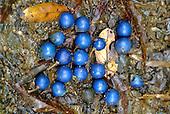 Fruits de Elaeocarpus angustifolius