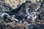 Northern & Southern Giant Petrel Feeding On Dead Fur Seal