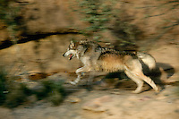 Mexican gray wolf blurred while running along trail near cliff line