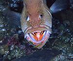 Tiger Grouper, Epinephelus tigris, mouth open, cleaning station, gobies