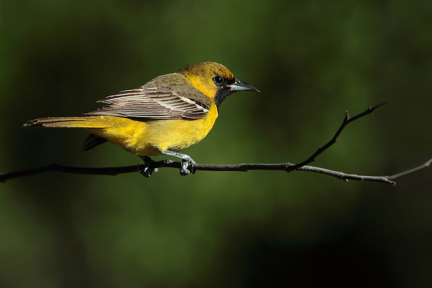Orchard Orioles are slim songbirds, larger than warblers and vireos. They have medium-length tails, rounded heads, and a straight, sharply pointed bill.