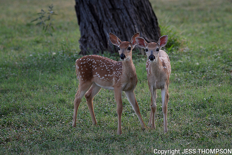 White-tailed Fawns, San Angelo