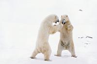 Polar bears (Ursus maritimus) wrestling (mostly play fighting), Churchill. Manitoba, November.