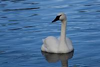 Trumpeter Swan, Jackson, Wy