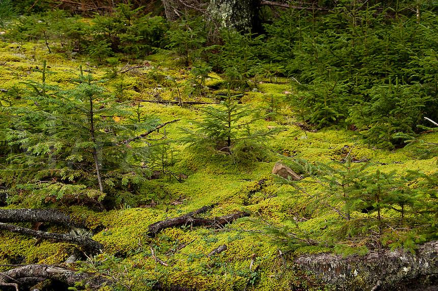 Seedling conifer trees, Pretty Marsh, Acadia NP, Maine,
