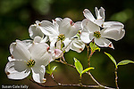 Dogwood blossoms at Maudslay State Park in Newburyport, Massachusetts, USA