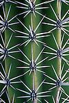 Mexico, Baja California Sur, San Jose del Cabo,Candelabro Cactus Detail (Pachycereus weberii)