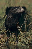 Groove-billed Ani, Crotophaga sulcirostris, adult drinking, Lake Corpus Christi, Texas, USA, May 2003