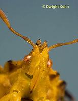 AM10-535z  Ambush Bug, female face, close-up of eyes, beak and antennae, Phymata americana