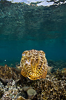 A Broadclub cuttlefish, Sepia latimanus, blends into the surrounding reef using its ability to change colors and textures. Batanta Island, Raja Ampat, Papua, Indonesia, Pacific Ocean
