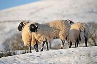 Swaledale ewe in the snow, Whitewell, Lancashire...Copyright..John Eveson, Dinkling Green Farm, Whitewell, Clitheroe, Lancashire. BB7 3BN.01995 61280. 07973 482705.j.r.eveson@btinternet.com.www.johneveson.com