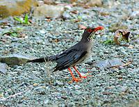 Red-legged thrush