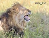 Dr. Xiong, ANIMALS, wildlife, photos, AUJX135,#a#