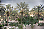 High dynamic range image of the palm trees in the Tozeur oasis, which are harvested for their dates.