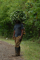 Man carries lussua leaves, a type of edible vegetable similar to spinach. Sao Tome and Principe, Africa.